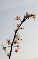 Hope we all will see again the cherry blossom in the year to come