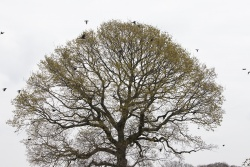 Black Crows flying